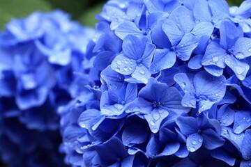Deurstickers Hydrangea 紫陽花と朝露