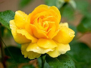 Yellow rose after the rain