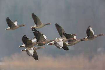 several gray geese (anser anser) flying with weed and trees in background