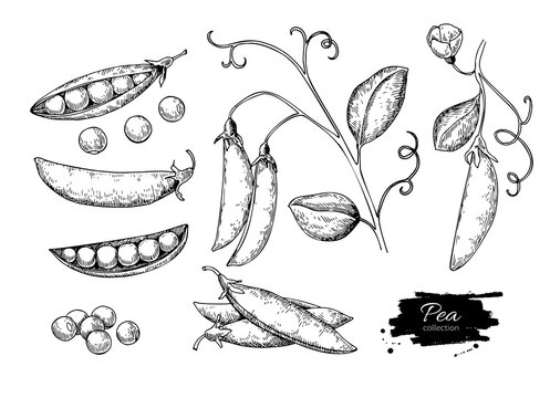 Pea hand drawn vector illustration set. Isolated Vegetable engraved style object. Detailed vegetarian food