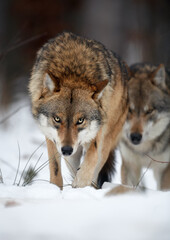 Close up vertical portrait of two wolves Eurasian wolf, Canis lupus in row, on hunt  in winter forest, staring directly at camera against blurred trees in background. Front view. East Europe.
