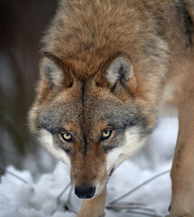Close up vertical portrait of wolf  Eurasian wolf, Canis lupus in threatening posture in winter forest, staring directly at camera against blurred trees in background. Front view. East Europe.