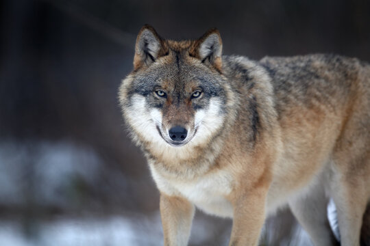 Close up horizontal portrait of Eurasian wolf, Canis lupus in winter, staring directly at camera against blurred forest in background. East Europe.