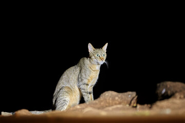 Night picture of isolated African wildcat, Felis silvestris lybica, nocturnal predator coming and staring directly at camera, lit by spotlight. Front view. Kruger national park, South Africa.
