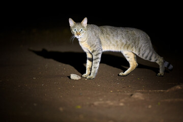 Close up, night picture of African wildcat, Felis silvestris lybica, tomcat searching for prey, lit by spotlight against black background. Side view. Kruger national park, South Africa.