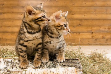 Two kittens sit and look at the free place for the inscription with the right