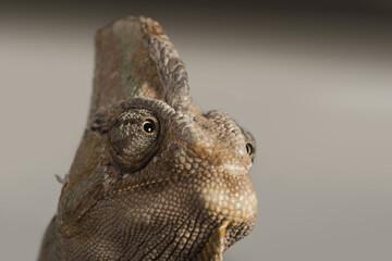 Veiled chameleon (Yemen chameleon) (Chamaeleo Calyptratus), captive, United Kingdom, Europe