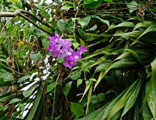 violet flowers with big green leaves