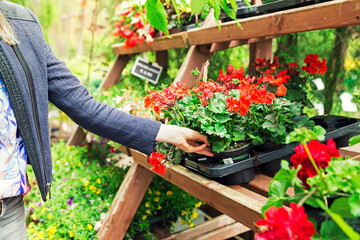 woman pick pelargonium geranium flower from shelf at garden plant nursery store