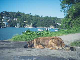 Leonberger dog resting by river