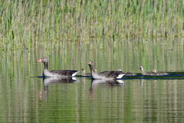 Graugans Familie im Frühjahr