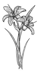 Lily illustration, drawing, engraving, ink, line art, vector