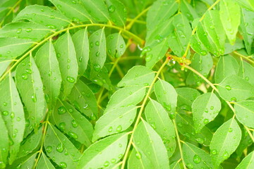 Curry Leaf. Curry Tree.