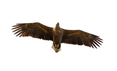 White Tailed Eagle looking out for prey flying in the sky in the Delta of the Volga River - Russia, isolated on white background