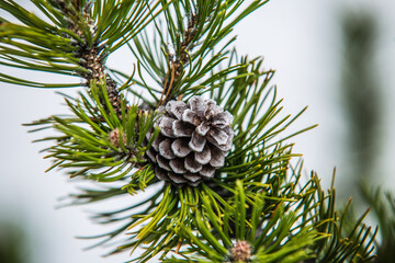 Pine branch with cones close up. flowering time