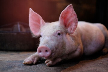 Small piglet in the farm. Group of Pig indoor on a farm yard in Thailand. swine in the stall. Close up eyes and blur.