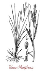 Carex, vintage engraving.Used in natural landscaping, oft in damp and wet conditions