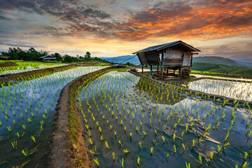 Poster Rice fields Rice terrace rice field of Thailand, Pa-pong-peang rice terrace north Thailand,Thailand landscape,Thailand