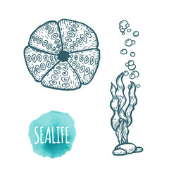 Sea urchin drawing on white background. Hand drawn seafood illustration.