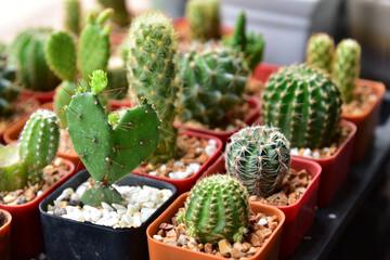 Photo sur Aluminium Cactus Small cactuses and succulents at the flower shop.Cactus succulent plant in flowerpot ,Houseplant Concept
