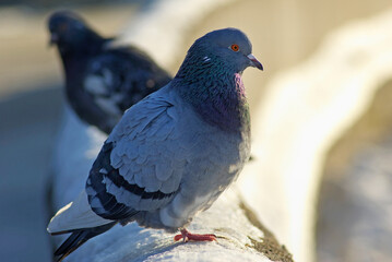 Pigeons sitting on the snow in winter. Urban doves. Shallow depth of field. Selective focus.