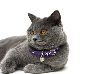 Portrait of a gray cat with yellow eyes. white background.