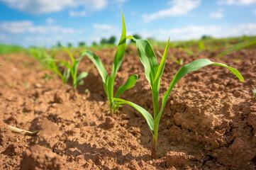 Fototapeta Corn germ in a field in a row obraz