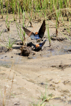 Swallows Collecting Mud