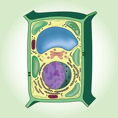 Cross-section of plant cell on green background, structure. Biology