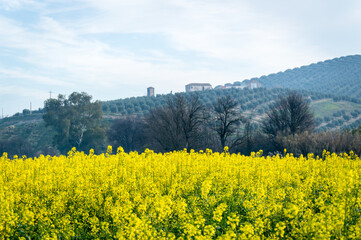 Andalusian landscape with olive trees and canola fields in Spain on a day in spring