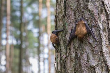 Zwei Fledermäuse in norddeutschen Fichtenwald