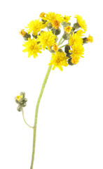 Yellow flowers of hawkweed isolated on white background
