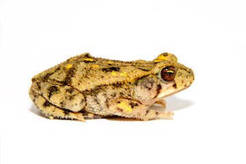 Great Plains toad, Anaxyrus cognatus, on white background full side view
