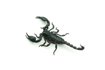 Closeup Scorpion isolated on white background