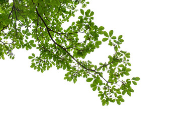 branch of green leaf isolated on white background with copy space for backround, concept for spring summer
