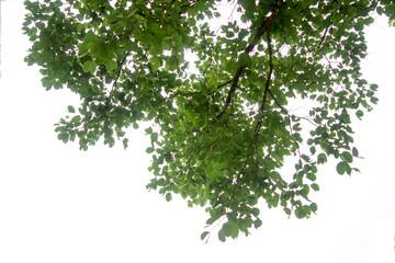 Green tree branch isolated Fotoväggar