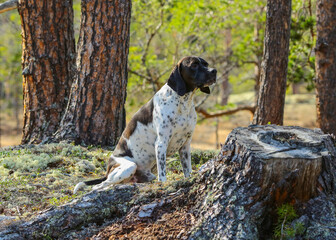 English dog pointer in the forest