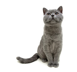 gray cat sitting on white background