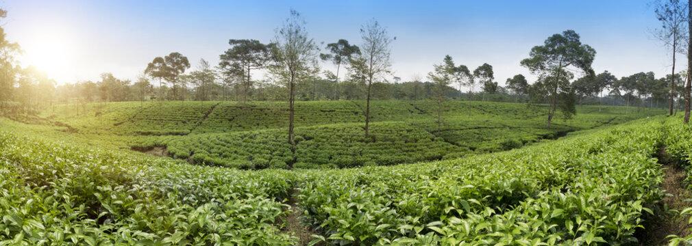 Tea plantation . Indonesia, Java