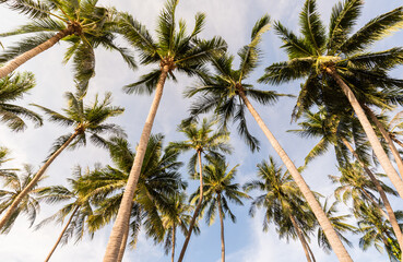 coconut palm tree on the beach of thailand, coconut tree with blur sky on the beach for summer concept background.