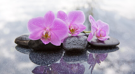 Three pink orchids and black stones close up.