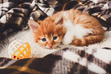 Sad Red orange kitten at plaid blanket