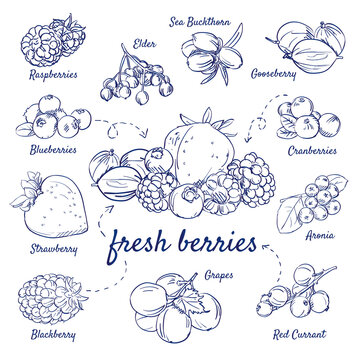 Doodle set of fresh berries - Raspberries, Elder, Buckthorn, Gooseberry, Cranberries, Aronia, Red Currant, Grapes, Blackberry, Strawberry, Blueberries, hand-drawn. Vector sketch illustration isolated.