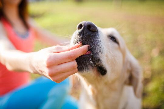 Woman giving treat labrador dog