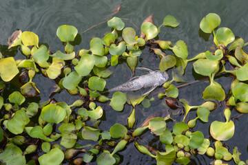 Dead fish (sucker fish) in the freshwater pond, Alien species in Thailand