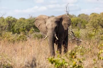Elephant walking in the bush, Kruger Park, South Africa.