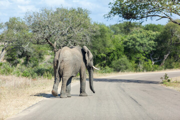 Elephant walking on the road in the Kruger Park, South Africa.