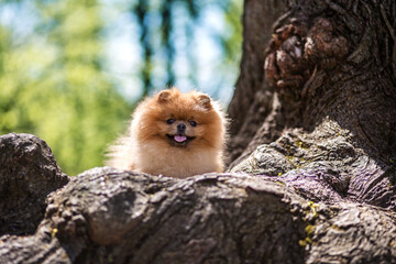 Pomeranian dog in a park. Dog sits on a tree