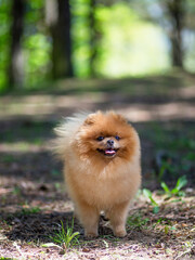 Pomeranian dog walking in a park. Beautiful dog