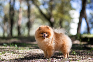 Pomeranian dog walking in a park. Beautiful dog